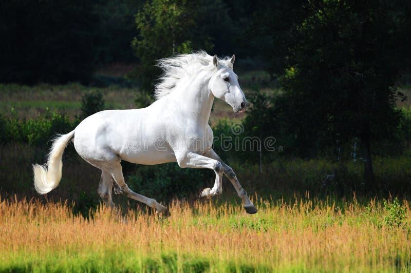 Galoppo andaluso bianco di esecuzioni del cavallo in estate immagine stock libera da diritti
