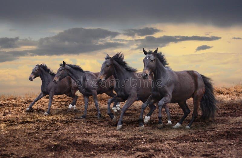 Galoppo dei cavalli selvaggii fotografie stock