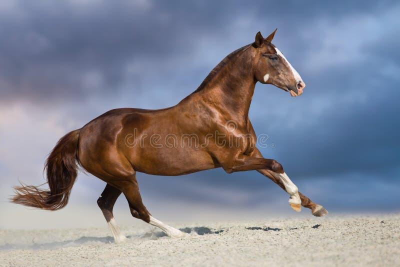 Galoppo del cavallo in deserto fotografia stock libera da diritti