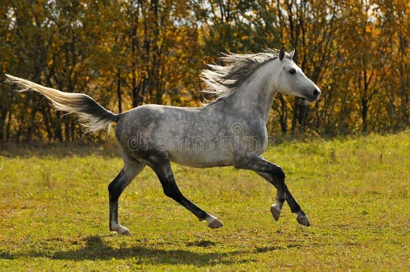Galoppo di esecuzione del cavallo bianco sul prato fotografie stock