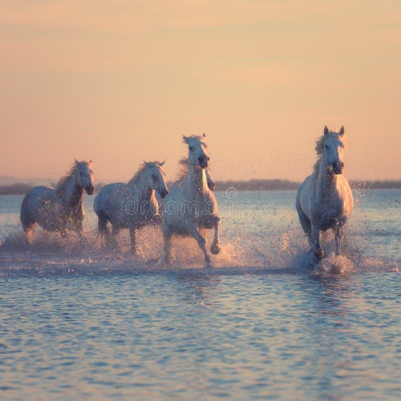Galoppo di funzionamento dei cavalli bianchi nell'acqua al tramonto, Camargue, Bouches-du-rhone, Francia immagine stock libera da diritti