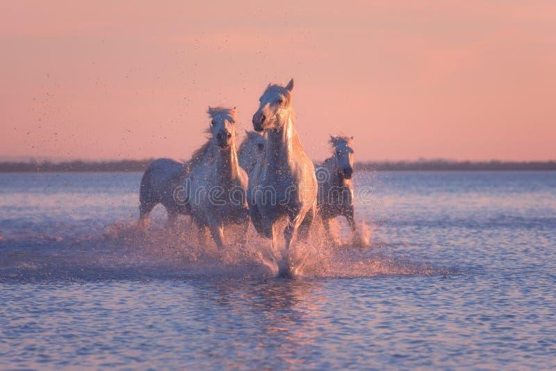 Galoppo di funzionamento dei cavalli bianchi nell'acqua al tramonto, Camargue, Bouches-du-rhone, Francia fotografia stock