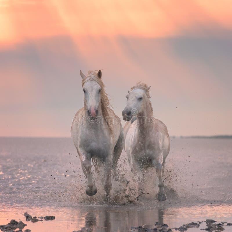 Galoppo di funzionamento dei cavalli bianchi nell'acqua al tramonto, Camargue, Bouches-du-rhone, Francia fotografie stock libere da diritti