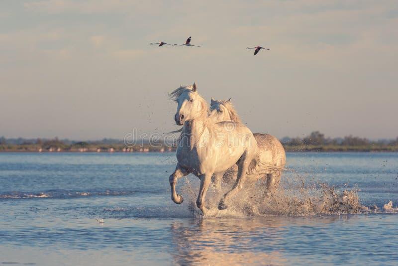 Galoppo di funzionamento dei cavalli bianchi nell'acqua contro lo sfondo dei fenicotteri al tramonto, Camargue, Francia di volo immagine stock libera da diritti
