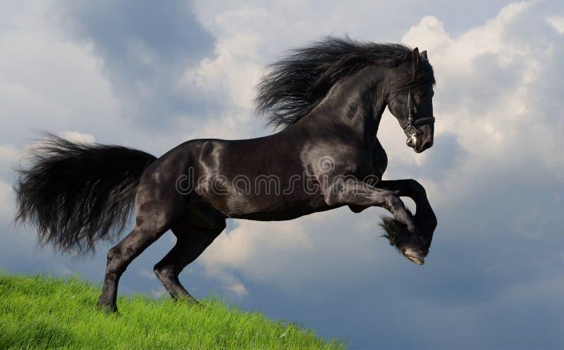 Galoppo frisone del cavallo fotografie stock libere da diritti
