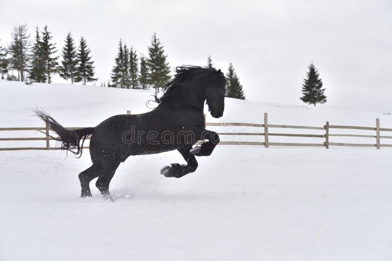 Galoppo frisone nero del cavallo in neve nell'orario invernale fotografia stock libera da diritti