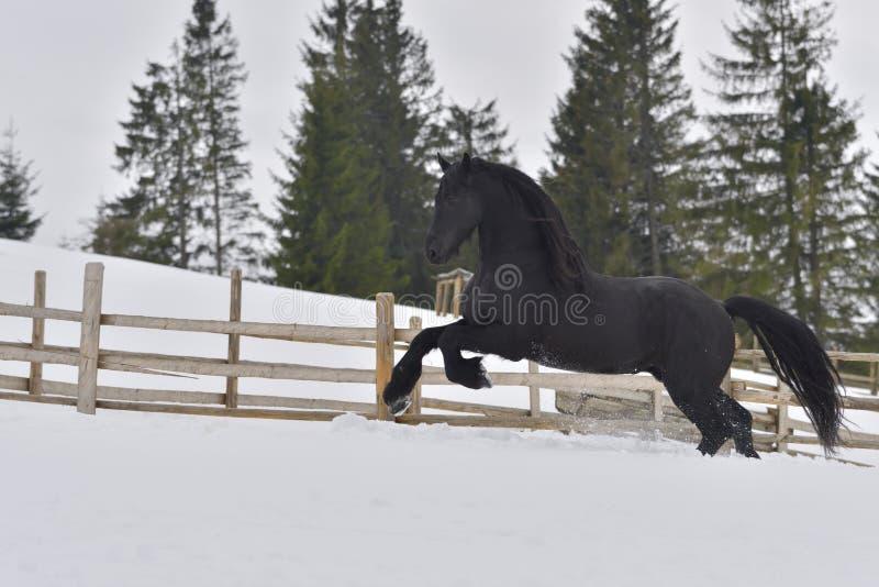 Galoppo frisone nero del cavallo in neve nell'orario invernale fotografie stock libere da diritti