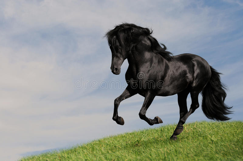 Galoppo nero OM di esecuzione dello stallion del cavallo il prato fotografia stock libera da diritti