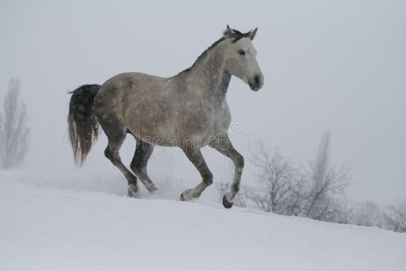 Galops gris d'étalon dans les chutes de neige en hiver photo libre de droits