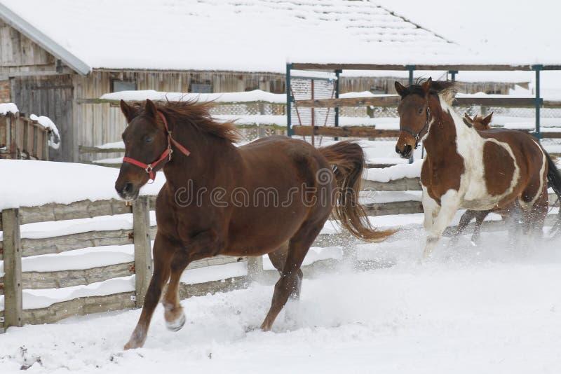 Galopujący konie i cieszyć się zima krajobraz fotografia royalty free