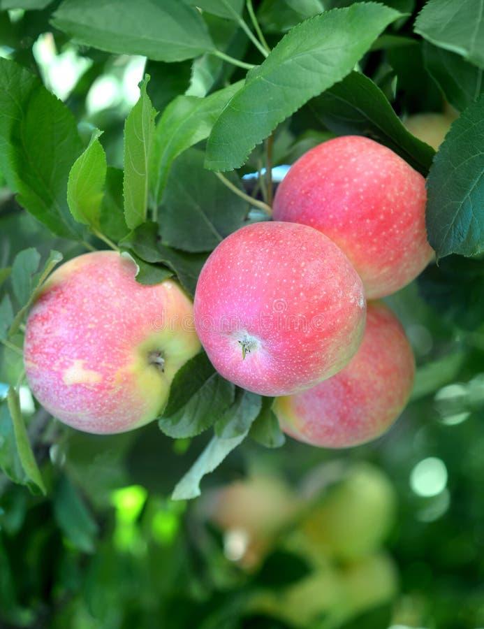 Galowy Apple fotografia stock