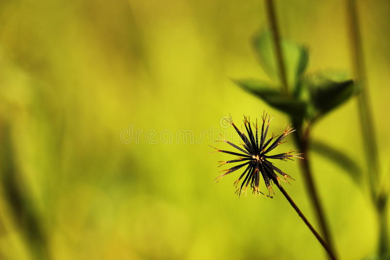 galsang花种子在西藏 免版税库存照片