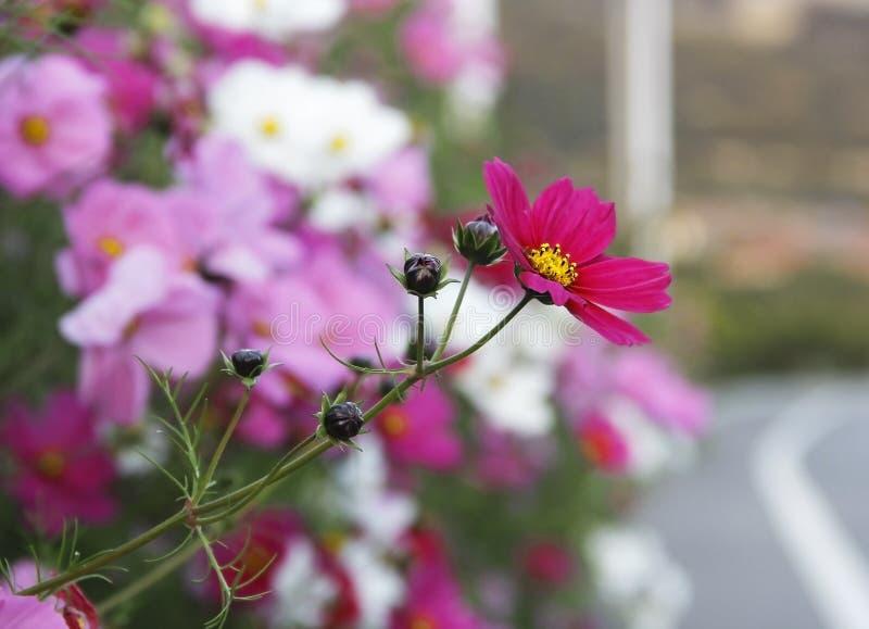 Download Galsang blomma arkivfoto. Bild av kosmos, färg, full - 78730846