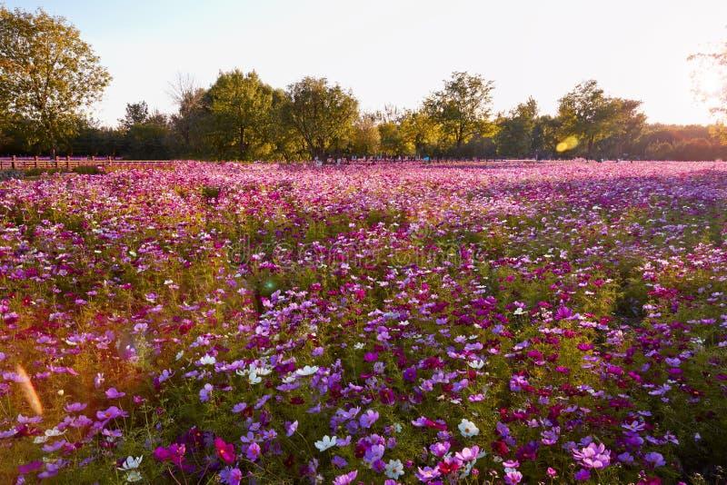 Galsang blommafält i solnedgång arkivfoto