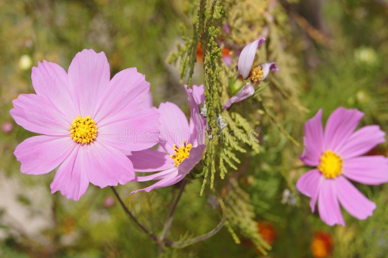 Galsang kwiat w Tybet zdjęcie royalty free