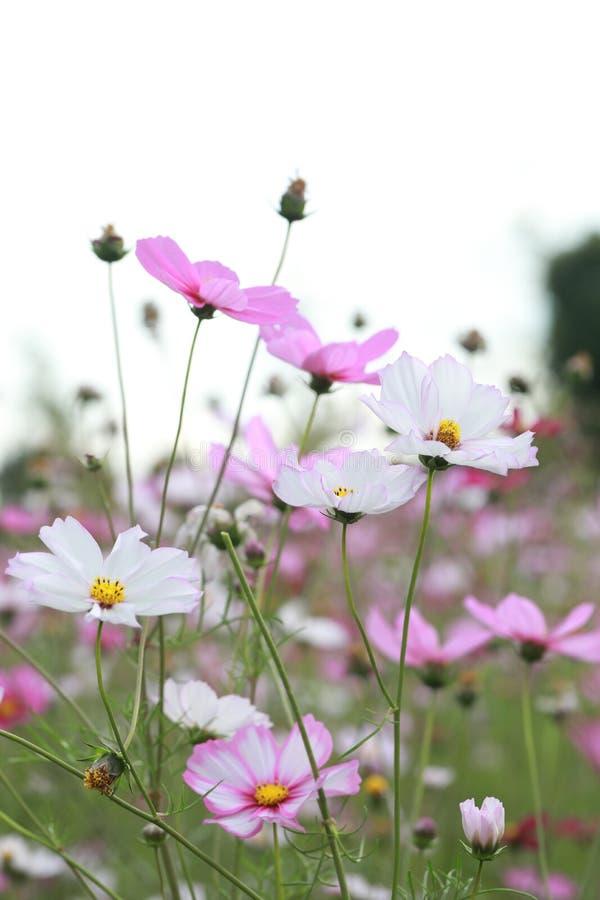 Galsang kwiatu pole w zmierzchu Zieleń, Shanghai obraz royalty free