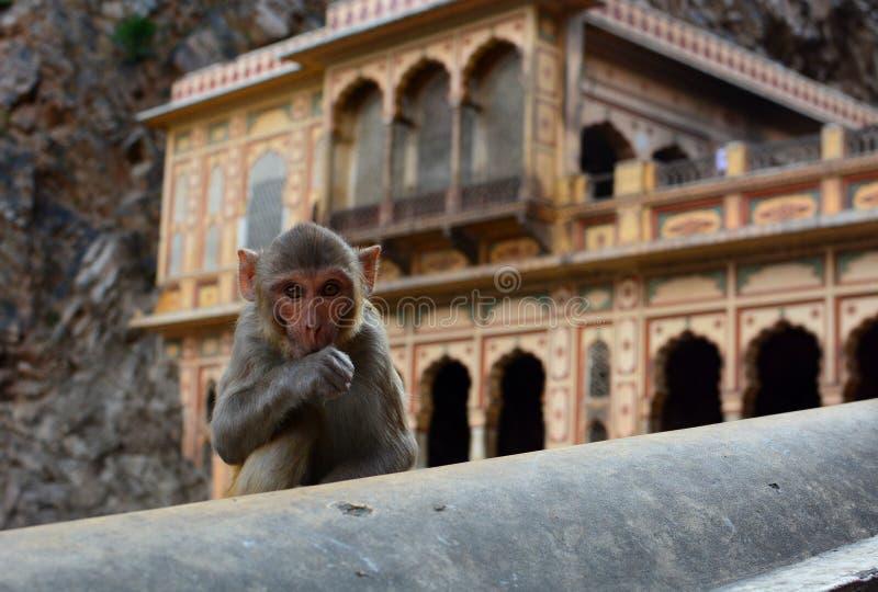 Galtaji apatemplet jaipur Rajasthan india arkivbild