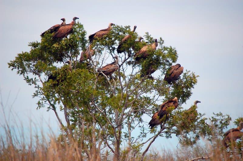 Gam i träd fotografering för bildbyråer
