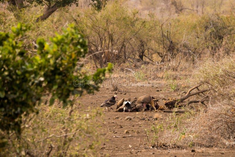 Gam och sjakalen med rovet i savannahen, Kruger parkerar, Sydafrika arkivbilder