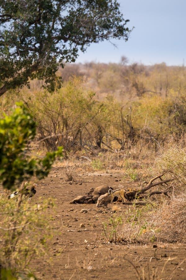 Gam och sjakalen med rovet i savannahen, Kruger parkerar, Sydafrika royaltyfri fotografi