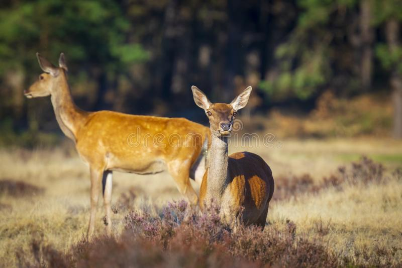 Gama de los ciervos comunes o trasero femenina, elaphus del Cervus fotos de archivo libres de regalías