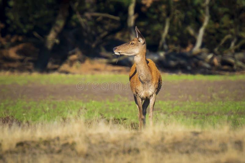 Gama de los ciervos comunes o trasero femenina, elaphus del Cervus fotografía de archivo libre de regalías