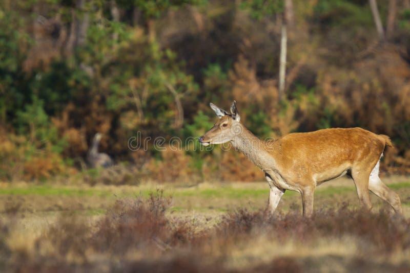 Gama de los ciervos comunes o trasero femenina, elaphus del Cervus imagenes de archivo