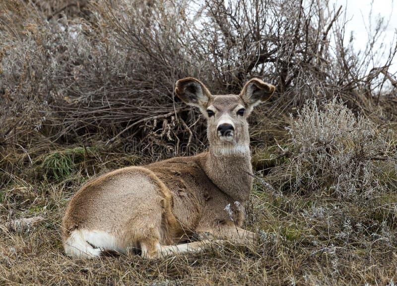 Gama de los ciervos mula imagen de archivo
