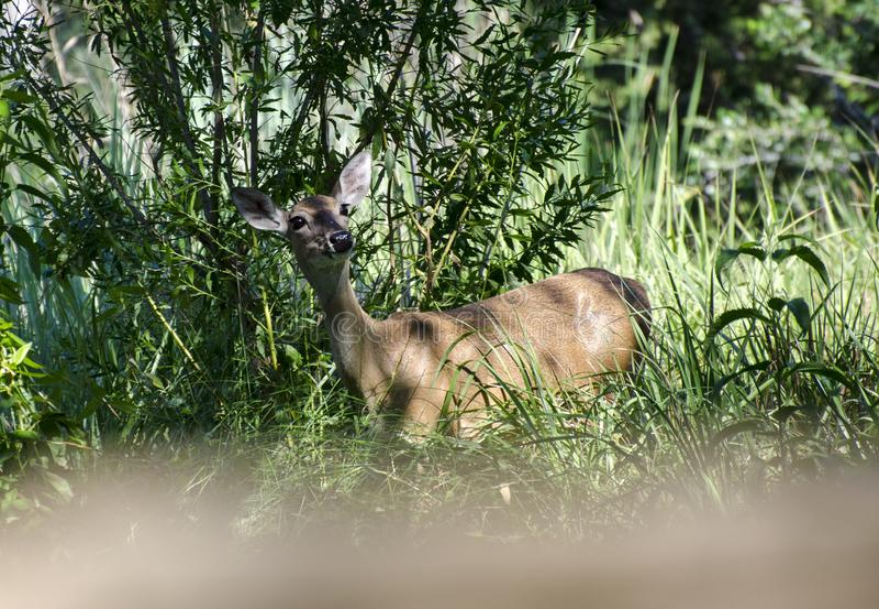 Gama de los ciervos de Whitetailed en la madera de deriva Texas Hill Country imagen de archivo
