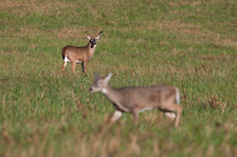 Gama de observación del dólar de los ciervos de Whitetail durante rodera foto de archivo