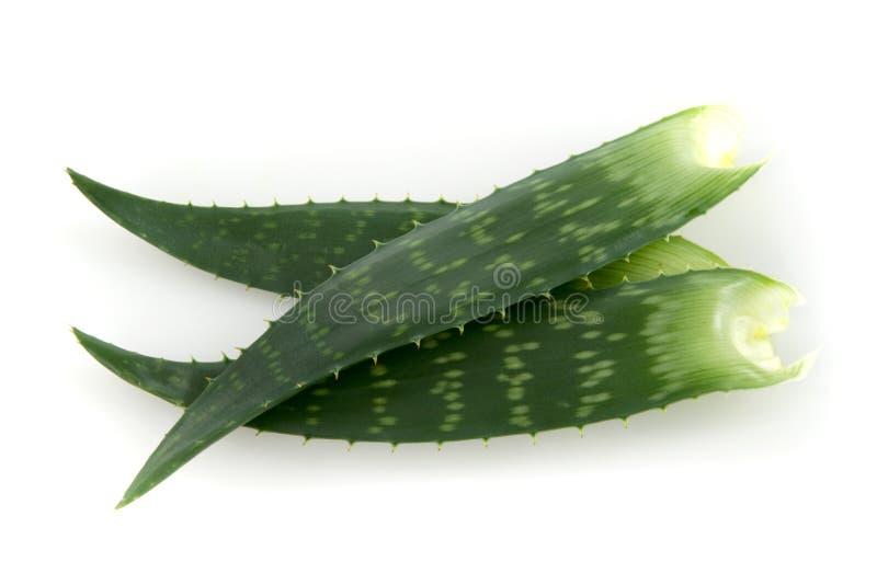 Folhas de Vera do aloés imagens de stock