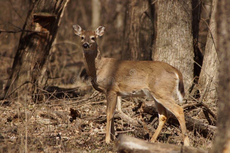 Download Gama Do Whitetail Com A Floresta No Fundo Foto de Stock - Imagem de mamífero, cervos: 29849520