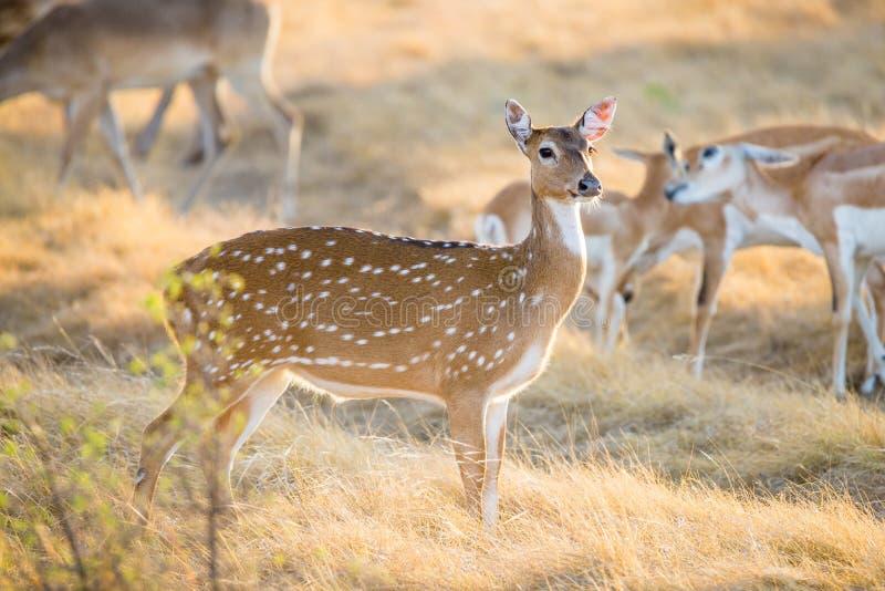 Gama dos cervos de Chital foto de stock royalty free
