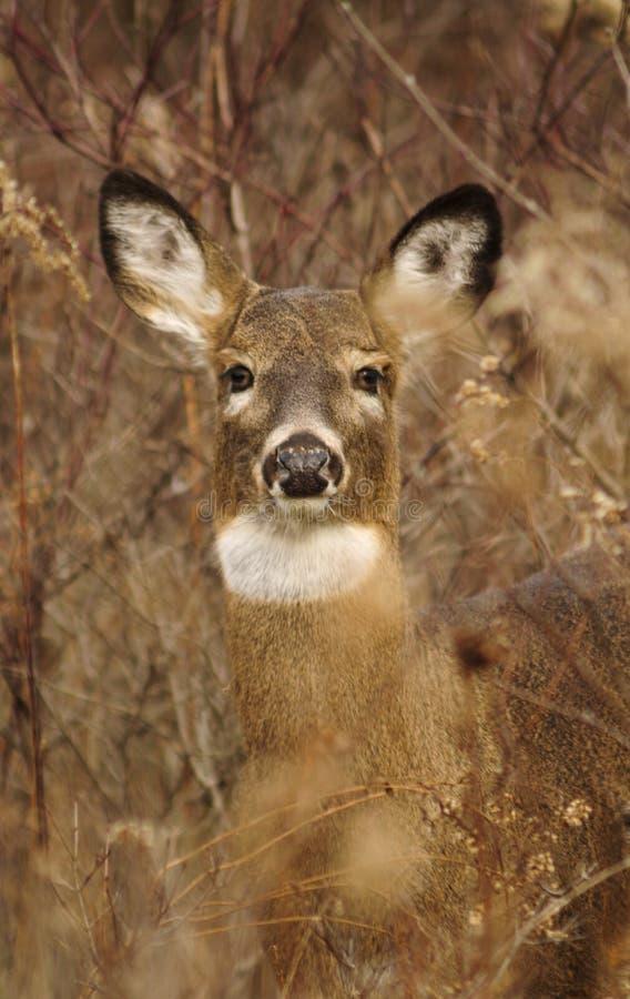 Gama dos cervos de Whitetail no alerta imagem de stock
