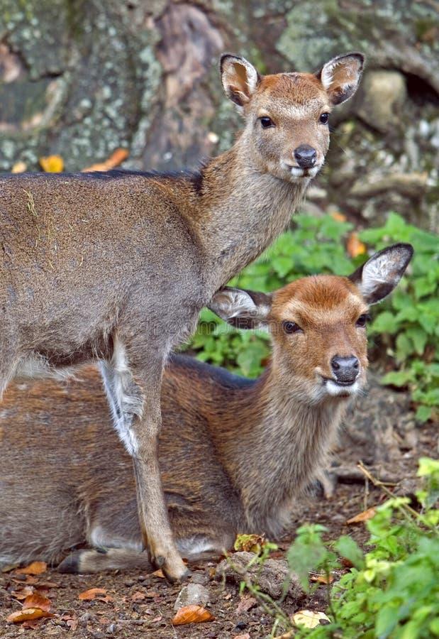 Gama e jovem corça dos cervos de Sika próximas junto na floresta imagens de stock royalty free