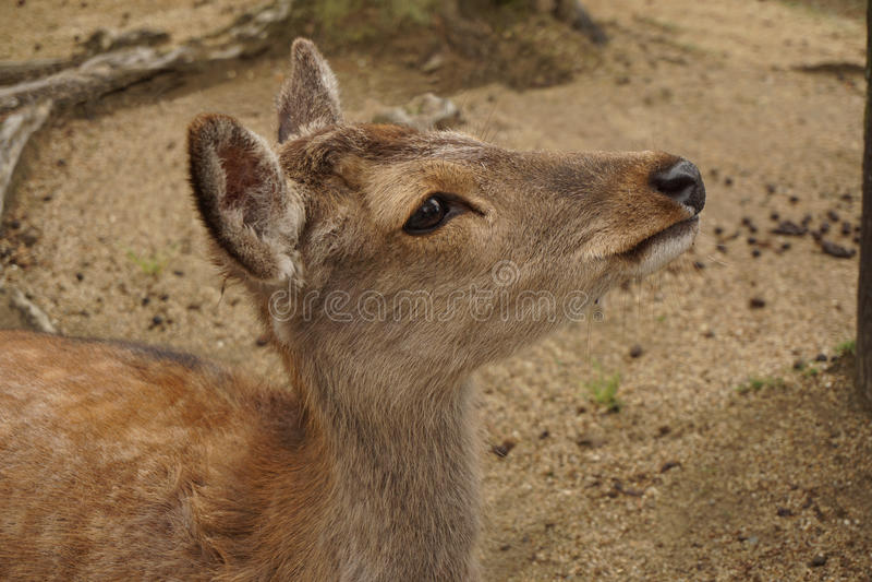 Gama en el parque de Nara fotos de archivo