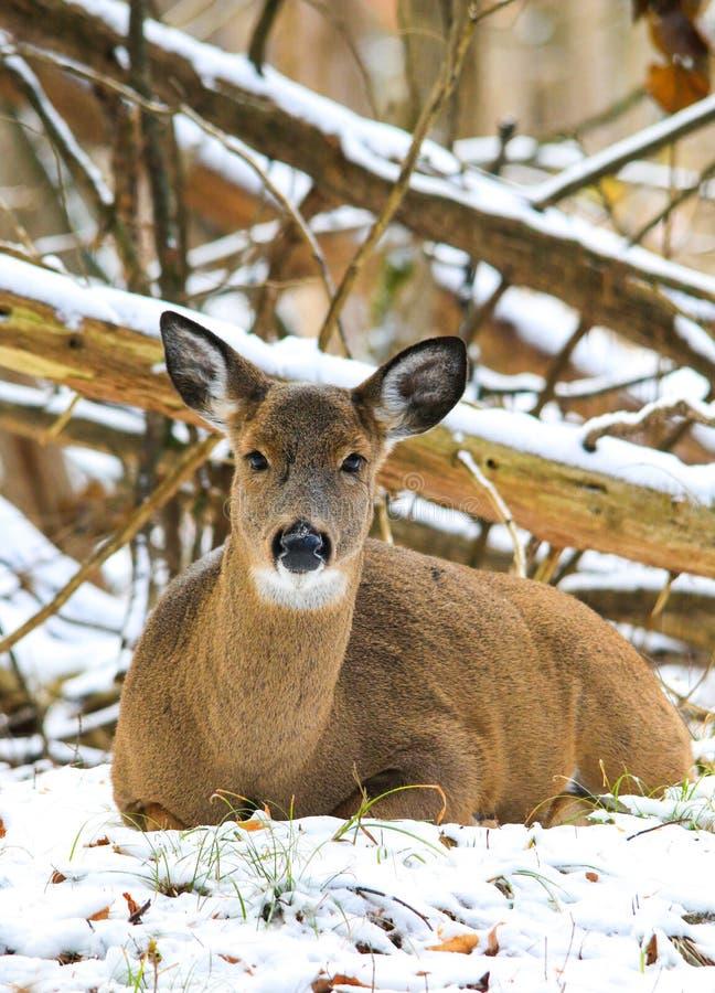 Gama Fawn Bedded de los venados de cola blanca en nieve del invierno imagenes de archivo