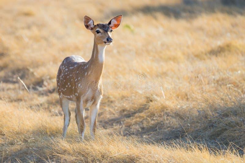 Gama manchada dos cervos foto de stock royalty free