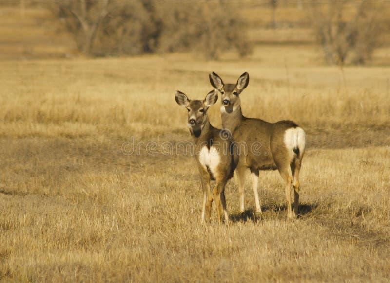 Gama y cervatillo de los ciervos de mula imagen de archivo