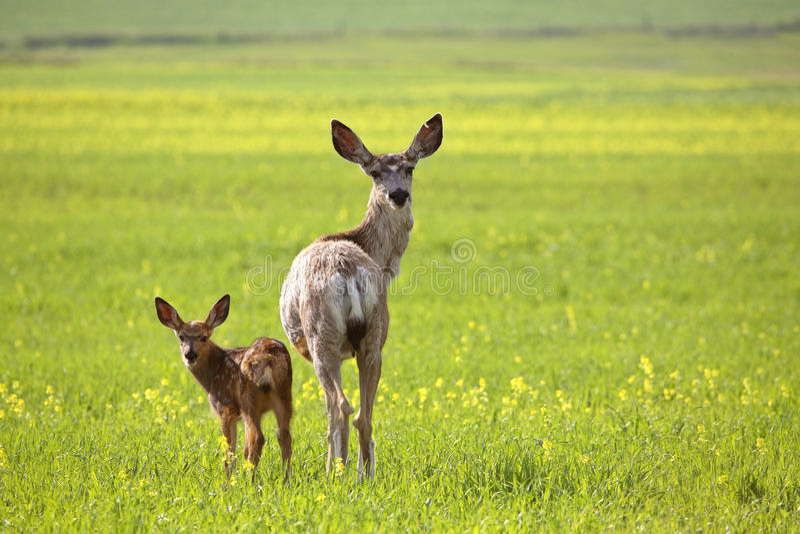 Gama y cervatillo de los ciervos de mula imagenes de archivo