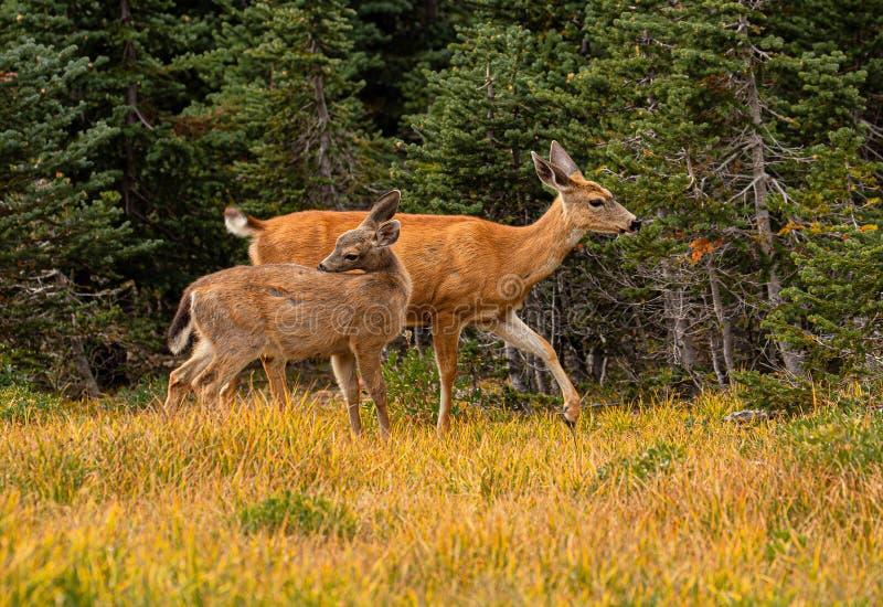 Gama y Fawn On Hurricane Ridge de cola negra, parque nacional olímpico, Washington de los ciervos fotos de archivo