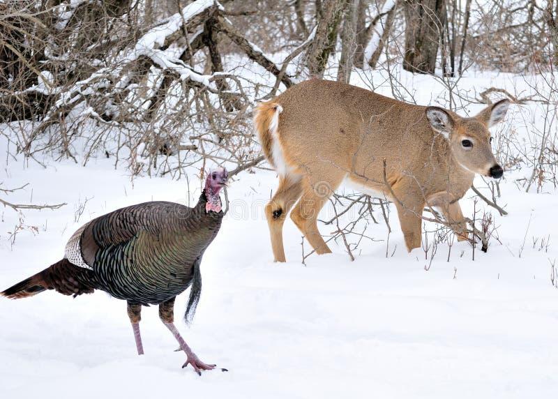 Gama y Turquía del Whitetail foto de archivo