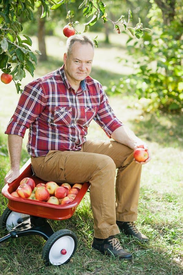 Gamal man med Apple i den Apple fruktträdgården arkivbilder