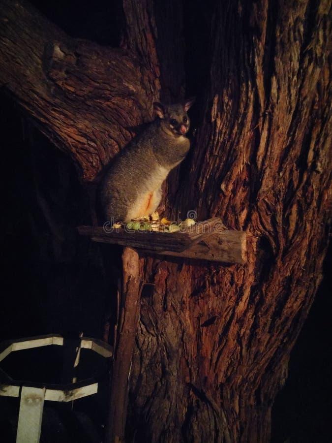 Gambá em uma árvore fotografia de stock royalty free