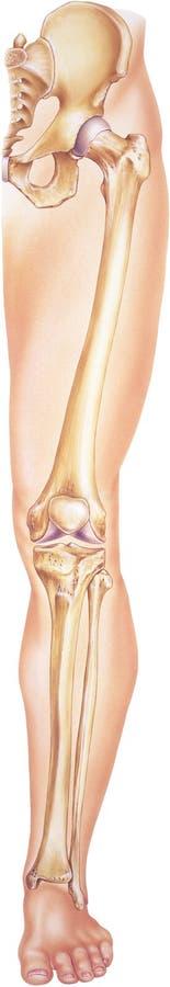 Gamba - dall'anca alle dita del piede che mostrano le ossa e le articolazioni illustrazione di stock