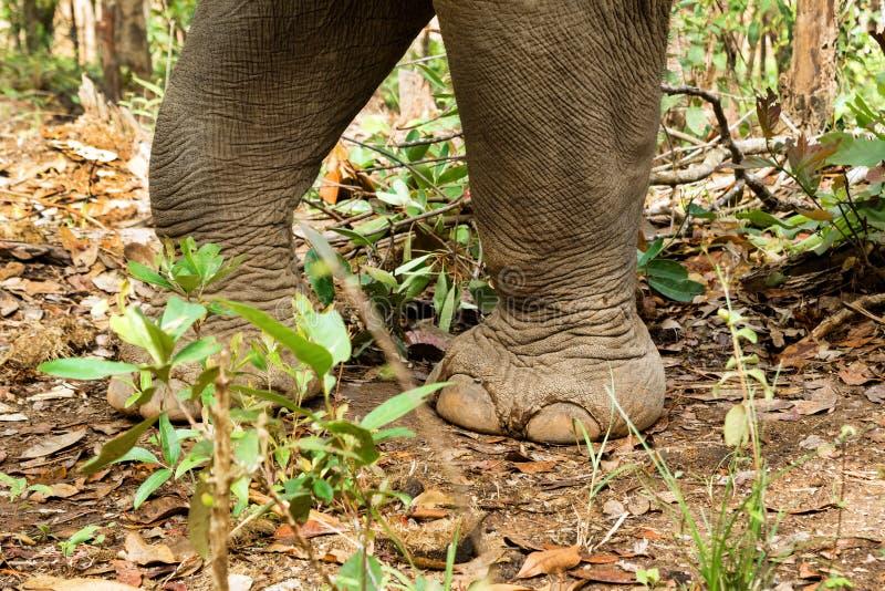 Gambe del primo piano dell'elefante che camminano attraverso la foresta pluviale fotografia stock