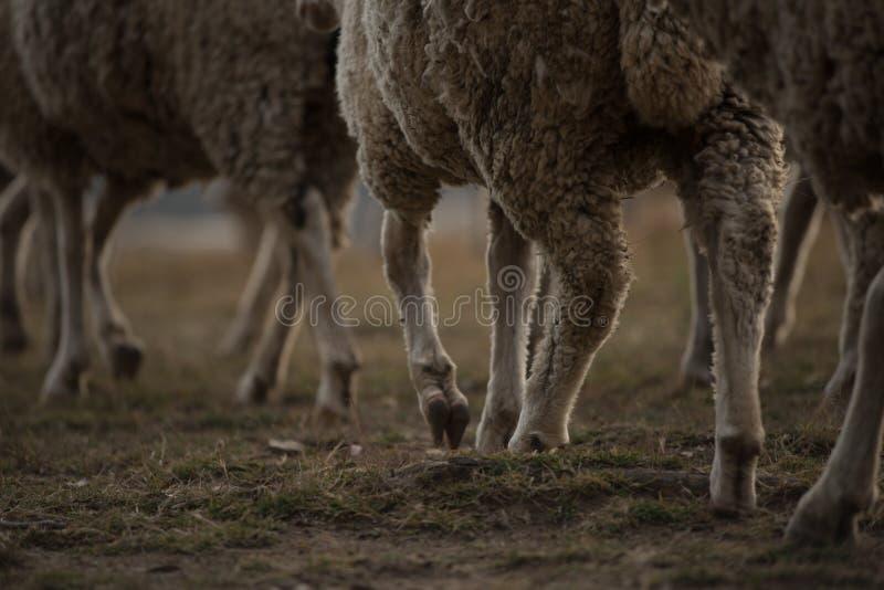 Gambe della moltitudine di pecore merino africane fotografia stock