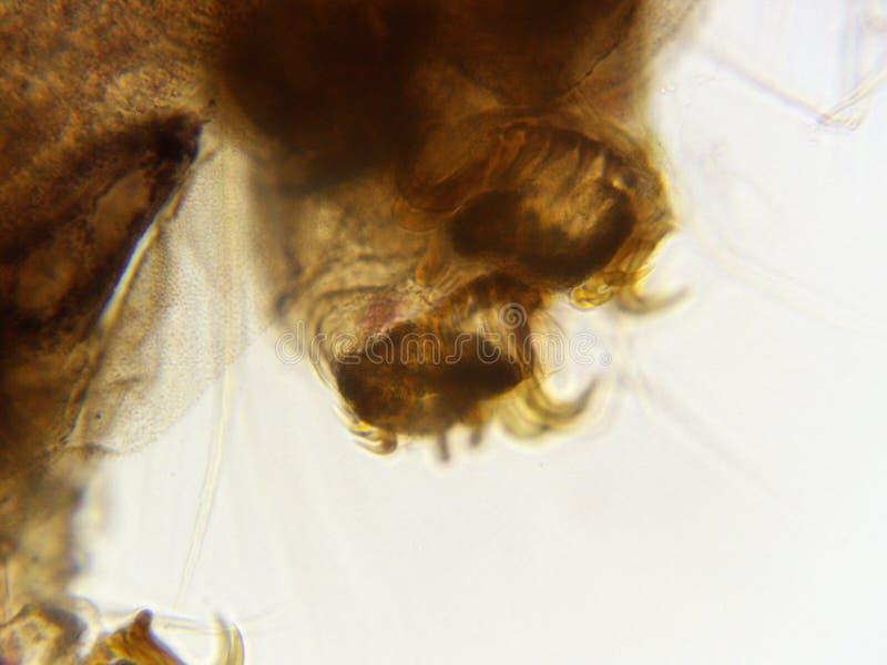 Gambe e ganci delle larve 400x del baco da seta immagini stock