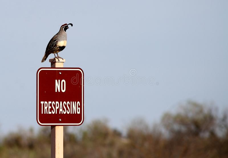 Gambel`s quail standing on no trespassing sign. This Gambel`s quail is sitting on a no trespassing sign.  The quail is a desert bird species that can be found royalty free stock photography