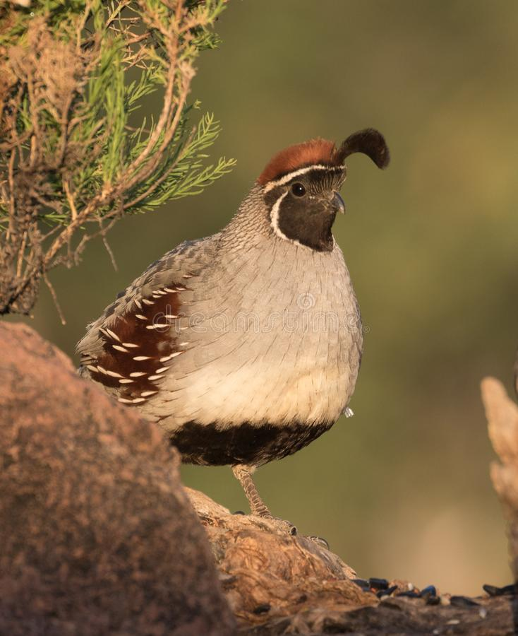 Gambel`s Quail Male royalty free stock photography